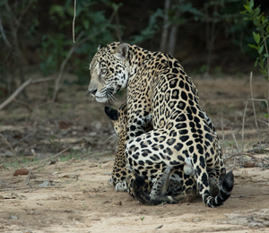 We Left At 3PM, One Hour Later Than The Other Two Tourist Groups, All Of Us  Headed Towards A Pair Of Mating Jaguars About 30 Minutes Upstream.