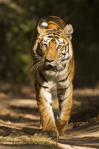 Tigers And The Wildlife Of India Photo Tour Trip Report